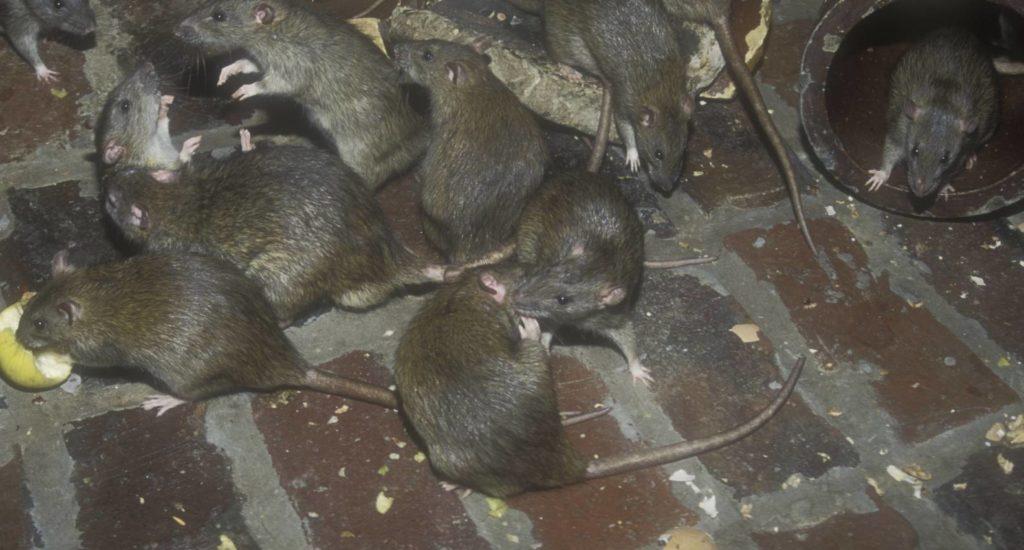 уничтожение крыс в Муравленко